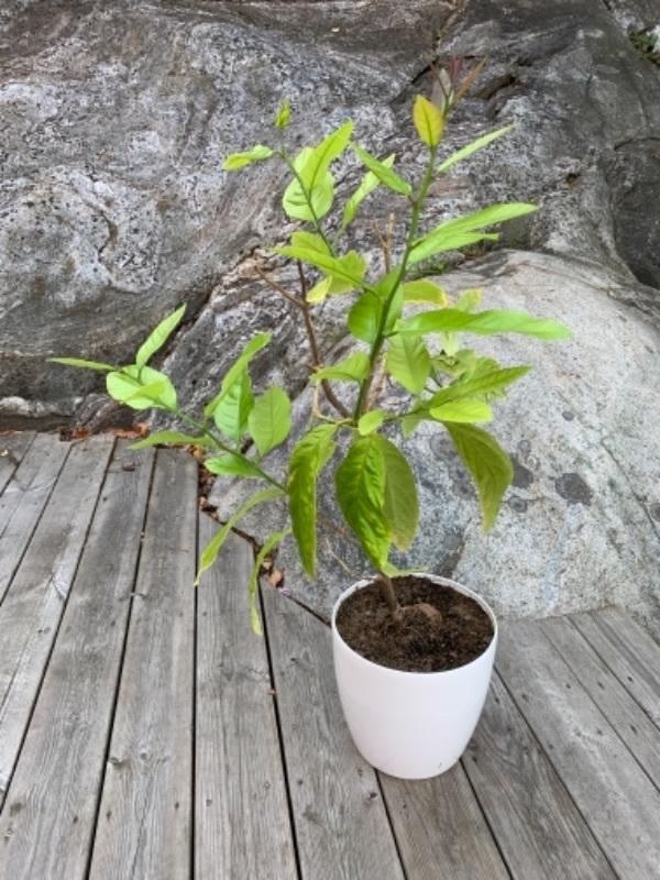 Blomma citronträd