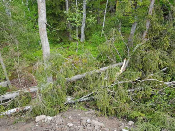 Fällda träd, ved